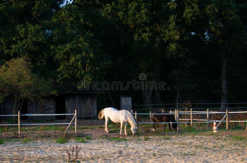 пасти лошадей Положение: Германия, северный Рейн - Вестфалия, Bor стоковое изображение rf