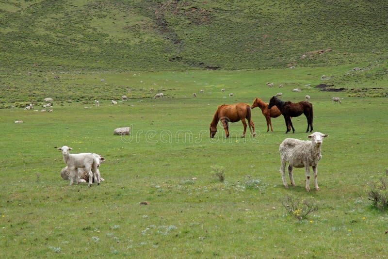 пасти овец лошадей стоковое фото