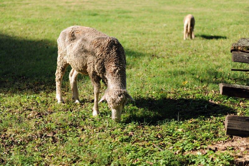 пасти овец овечки Стоковые Фото