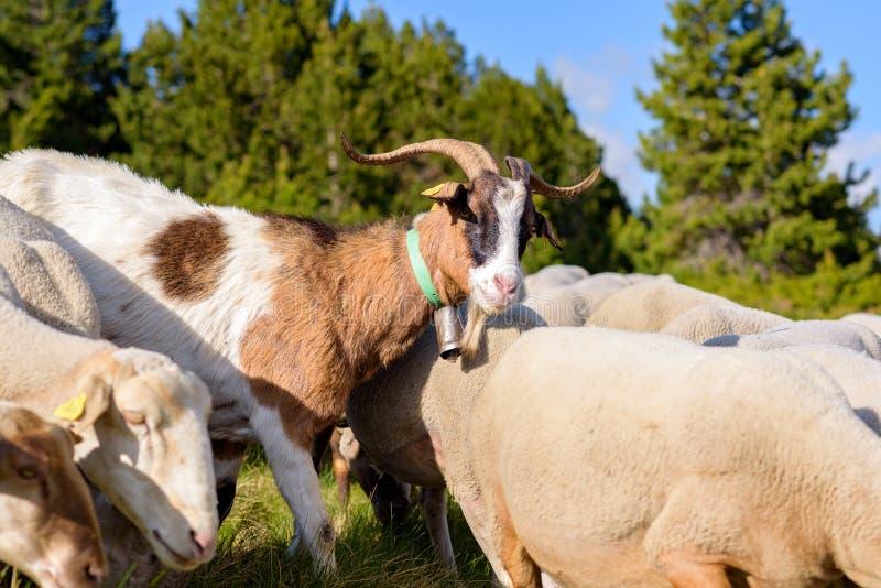 пасти овец El более кислый, Canillo, Андорра стоковые изображения rf