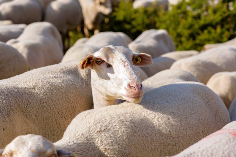 пасти овец El более кислый, Canillo, Андорра стоковое изображение rf