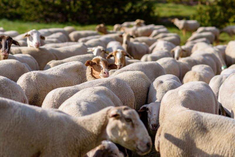 пасти овец El более кислый, Canillo, Андорра стоковое фото rf