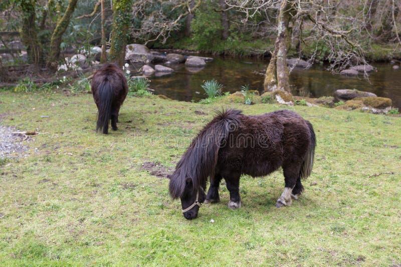 Пасти пониы стоковая фотография rf
