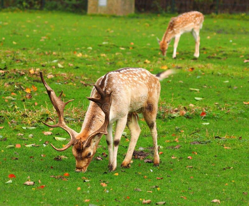 Пасти самца оленя с гигантским antler стоковое изображение