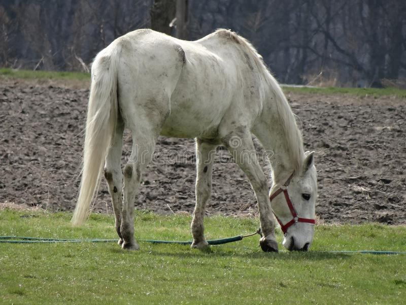 Пасти сельскую белую лошадь рядом с обрабатываемой землей стоковые фото
