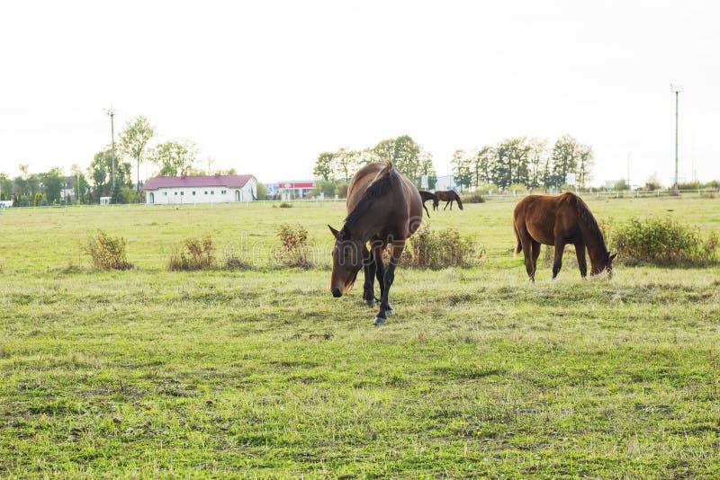 Пасти табуна лошадей с осленком и воронами в луге стоковые изображения rf