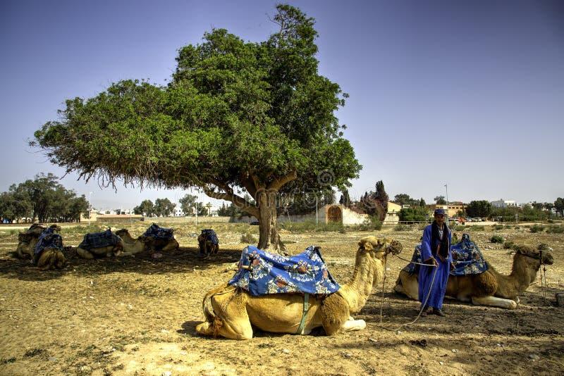 Пастух верблюда стоковая фотография rf