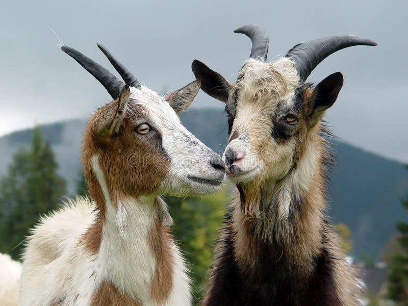 Пасут коз на горе к лугу в лете стоковые изображения