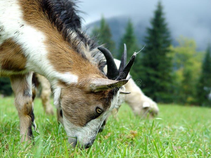 Пасут овес на горе к лугу в лете стоковые фотографии rf
