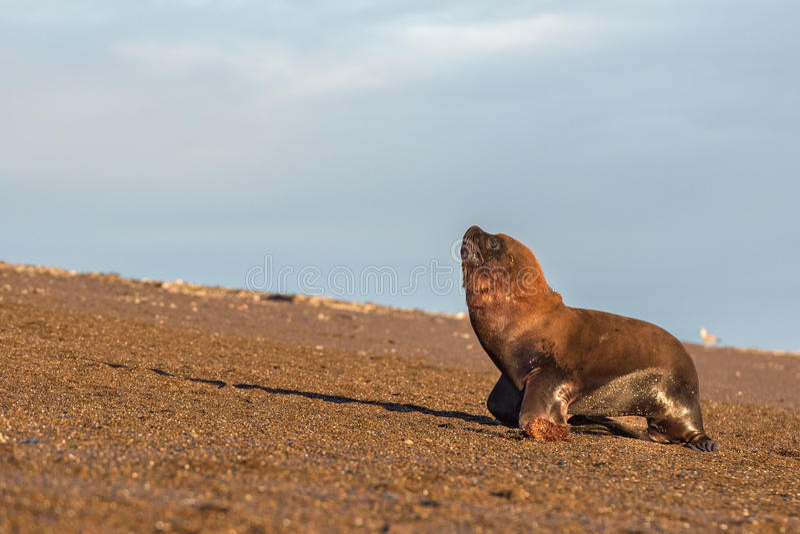 Патагонский морсой лев на пляже стоковое фото rf