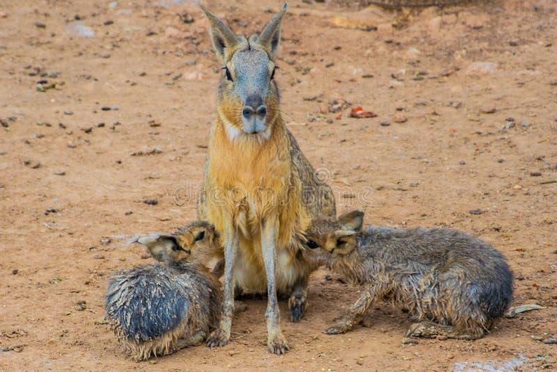 Патагонское patagonum Dolichotis mara кормит ее младенцев грудью стоковое фото