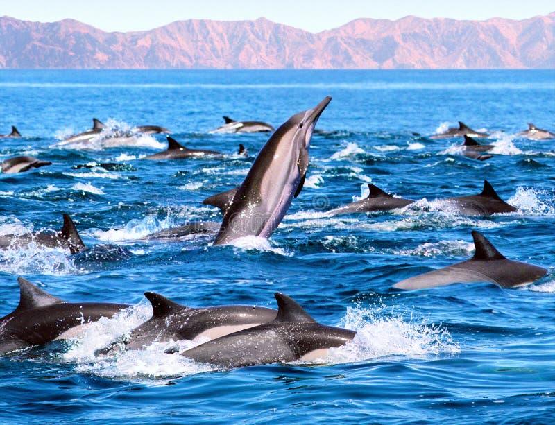 патруль дельфина стоковые фотографии rf