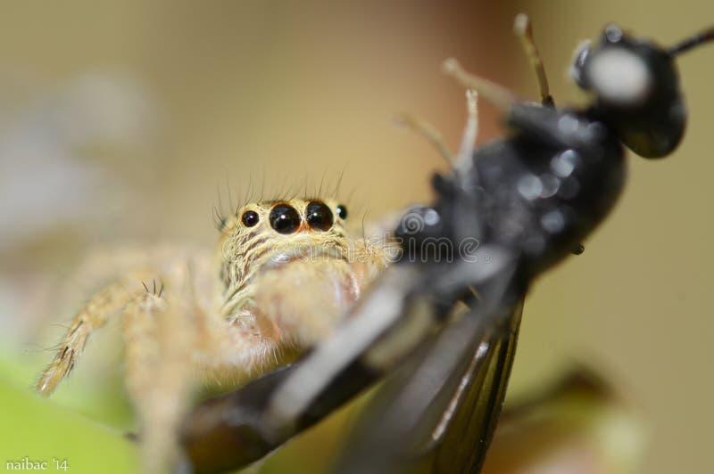 Паук всасывая муху - фронт стоковая фотография