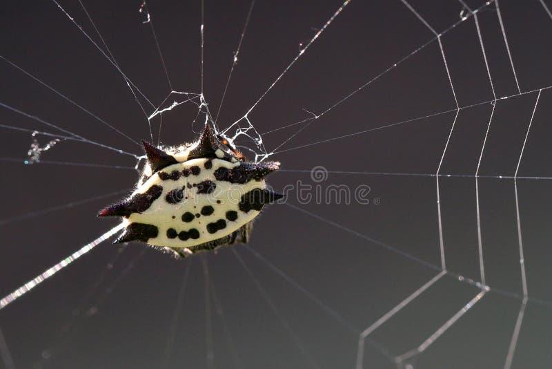 Паук в сети, против солнечного света, конец вверх стоковые фото