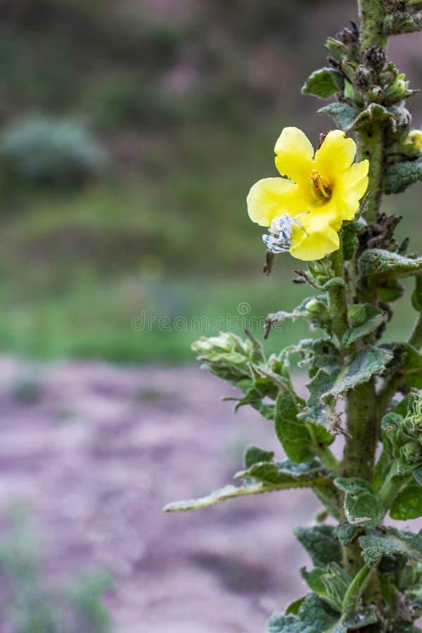 Паук краба на цветке densiflorum Verbascum стоковые фотографии rf