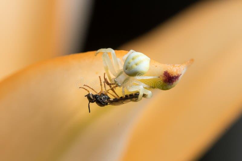 Паук краба цветка сидя со своей добычей на оранжевом цветке стоковое изображение rf