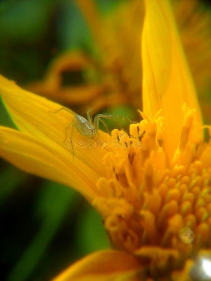 Паук на желтом цвете стоковое изображение rf