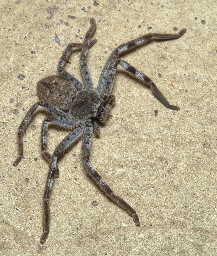 Паук охотника в Виктория Австралии стоковое изображение rf