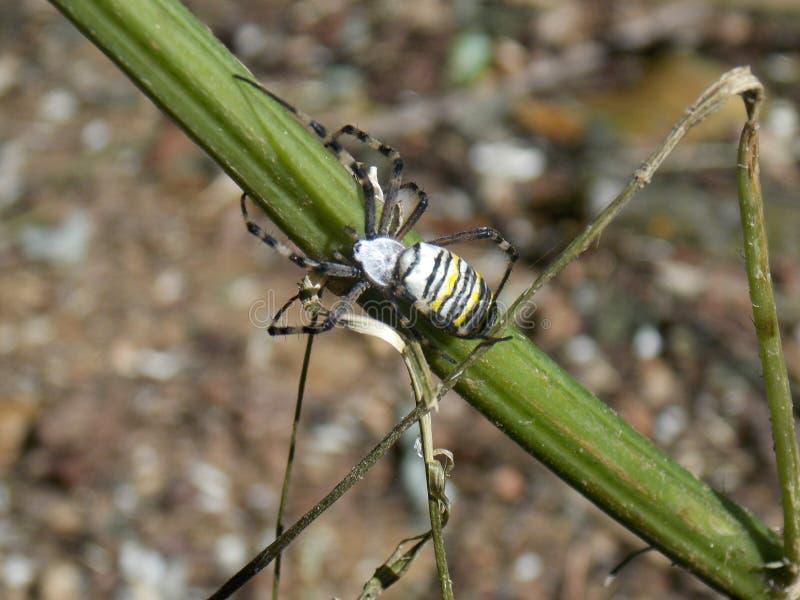 Паук пчелы стоковая фотография