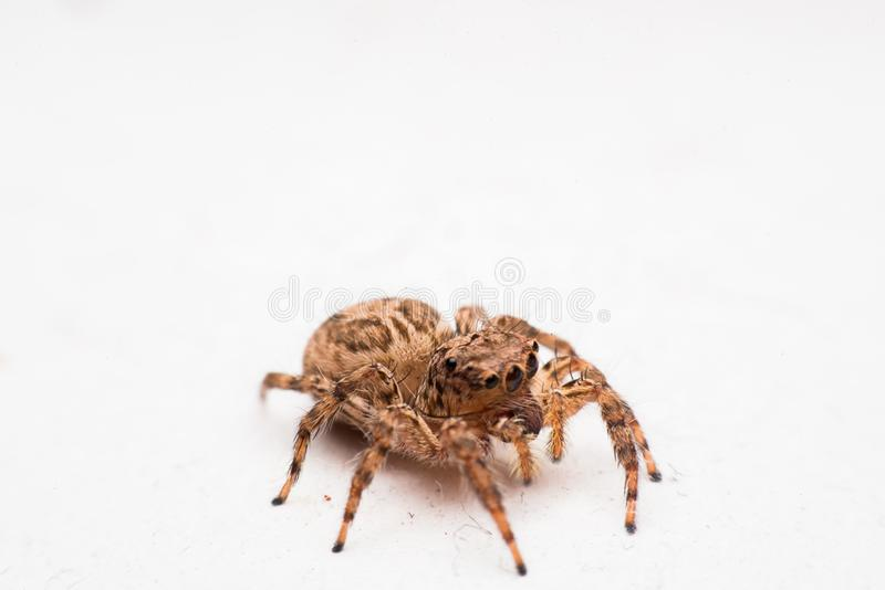 Паук, скача паук на стене стоковое изображение rf