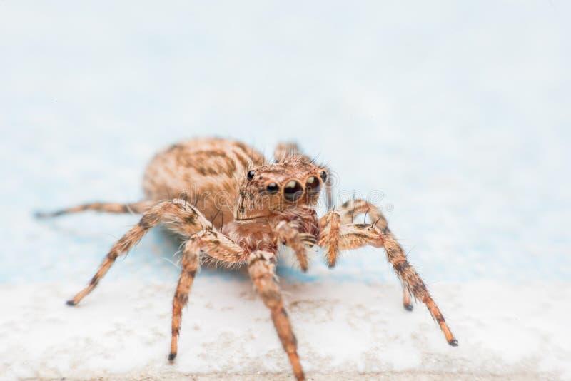 Паук, скача паук на стене стоковые изображения rf