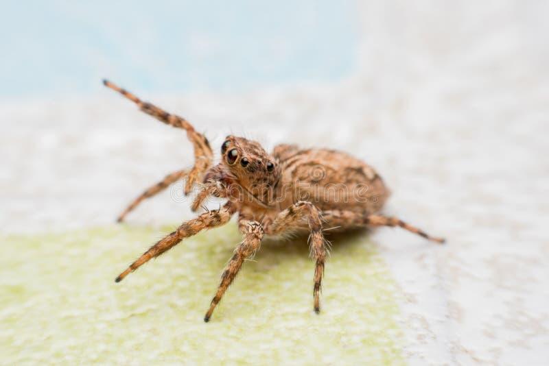 Паук, скача паук на стене стоковая фотография rf