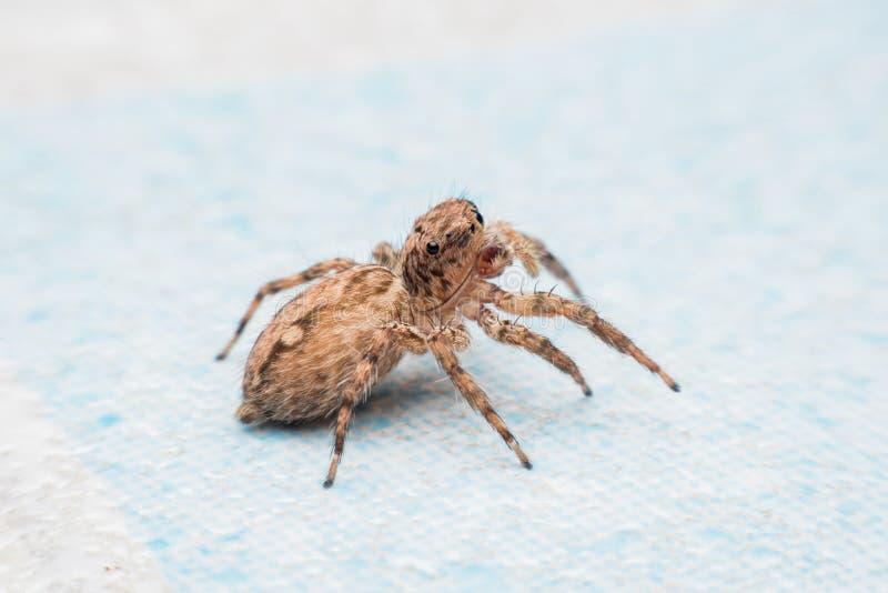 Паук, скача паук на стене стоковые фотографии rf