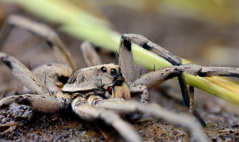 Паук травы/волка стоковое изображение