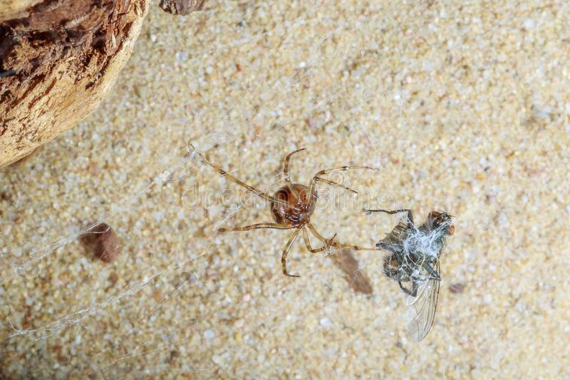 Паук хищничая на мухе стоковое фото rf