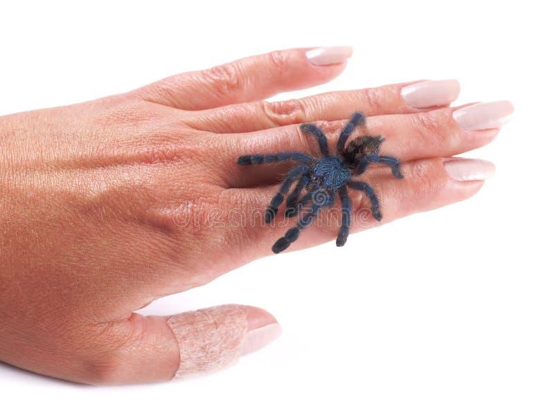 Паук Avicularia versicolor, молодой индивидуальный идти тарантула на руку ` s женщины стоковое фото