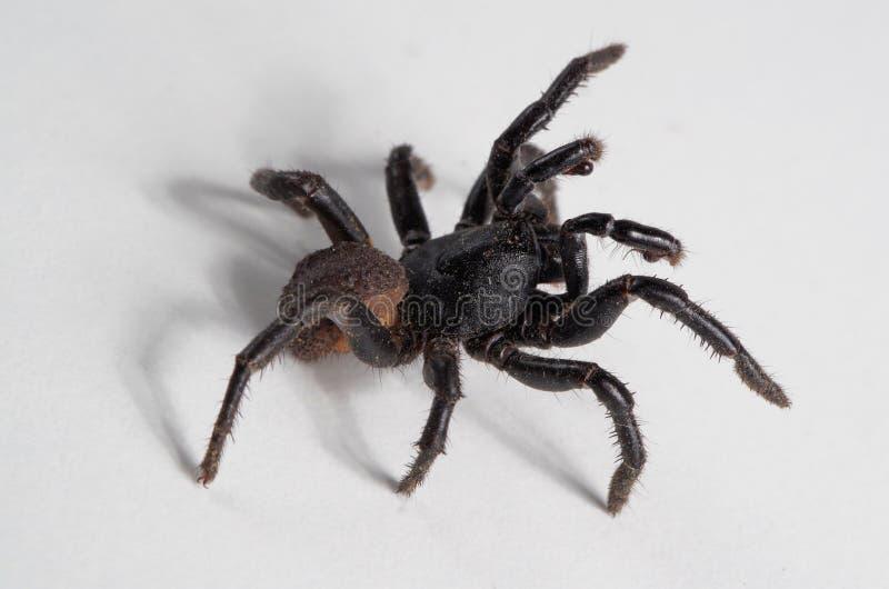 Паук Ummidia в положении нападения (2 из 4) Макрос черного паука стоковые изображения