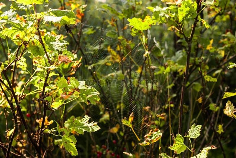 Паутина в зеленых кустах стоковые изображения rf