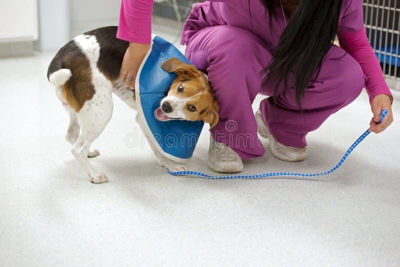 пациент beagle шаловливый стоковое изображение rf