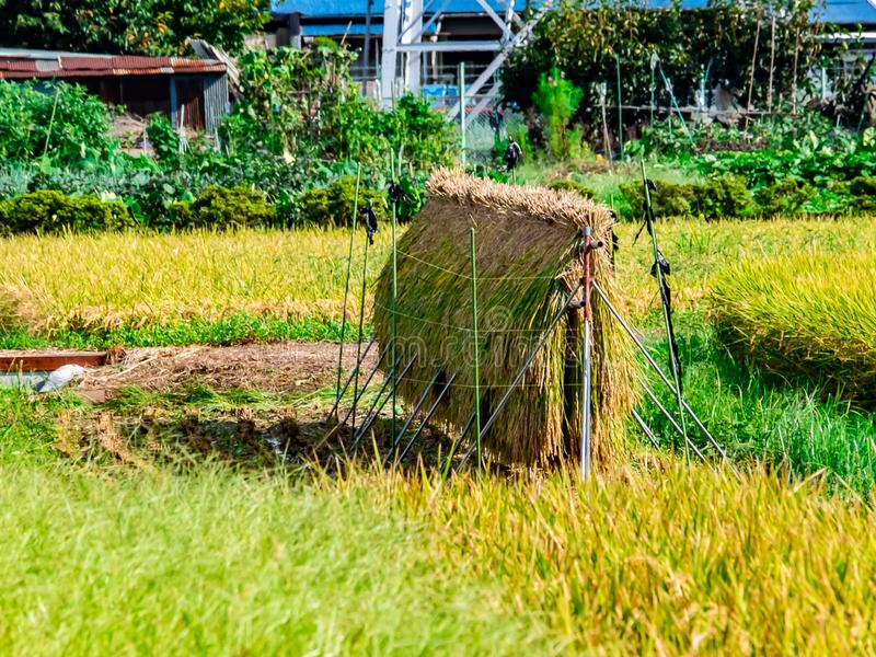 Пачки риса преследуют в японском поле стоковое фото