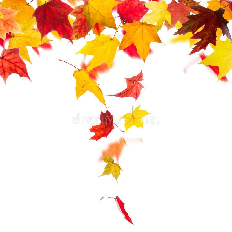 Падать кленовых листов осени стоковые фотографии rf