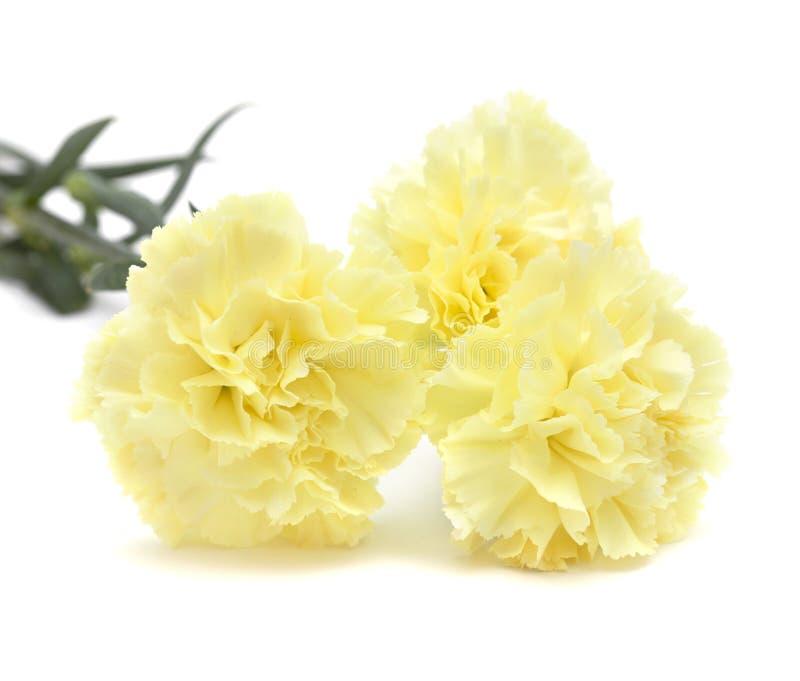 Палевые изолированные цветки гвоздики стоковое фото