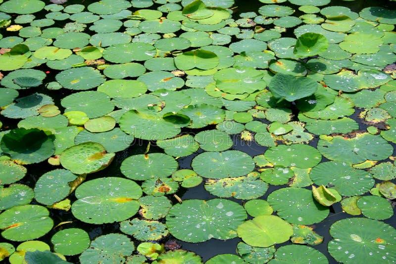 Падение листьев и воды лотоса стоковое изображение rf