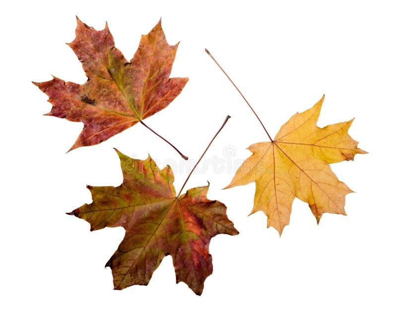 падение Канады осени выходит клен стоковое изображение