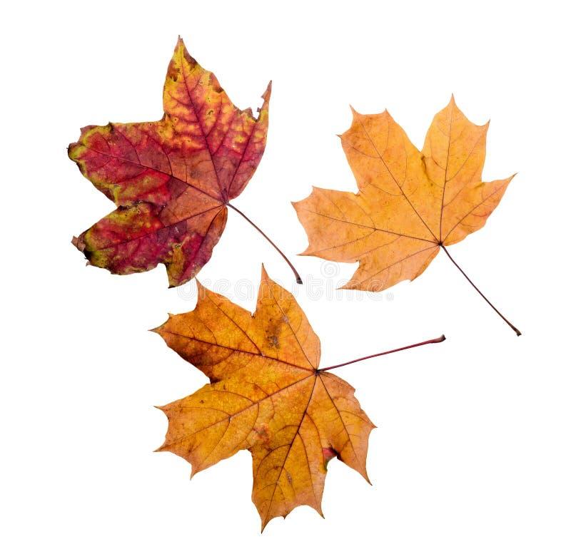 падение Канады осени выходит клен стоковое фото