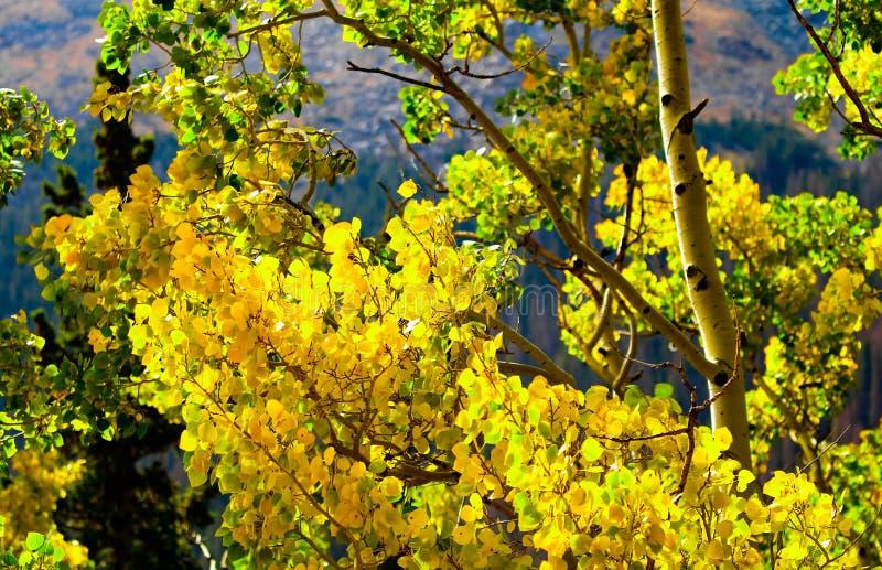 Падение красит поразительное золото с деревьями Aspen в национальном парке скалистой горы, Колорадо стоковые фотографии rf