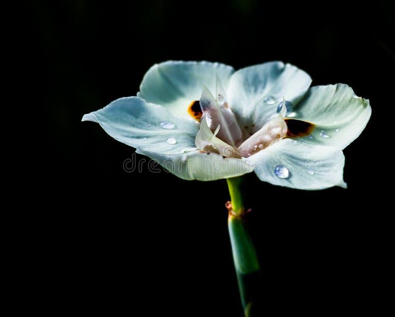 Падения воды на белом цветке с черной предпосылкой стоковые фотографии rf