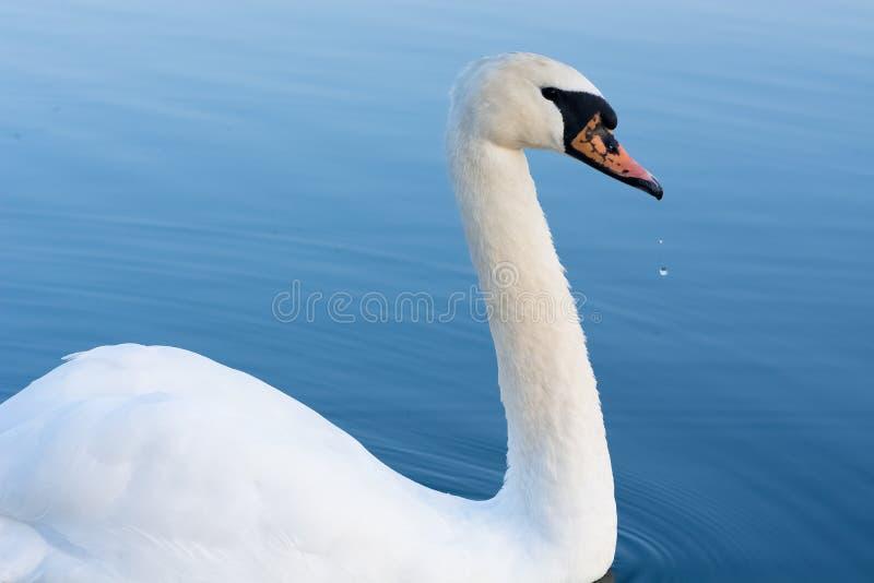 Падения лебедя и воды стоковые изображения