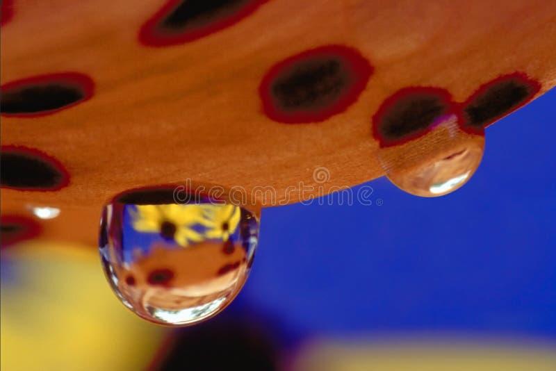 Падения дождя на лепестке лилии тигра стоковая фотография