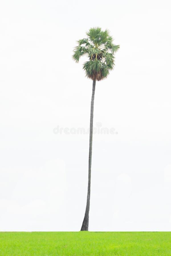 Пальма изолированная на белой предпосылке, пальма кокоса изолированная на белой предпосылке стоковое фото