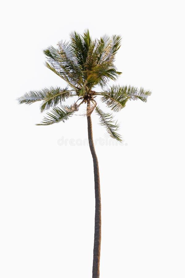 Пальма кокоса на изолированной белой предпосылке стоковые изображения rf