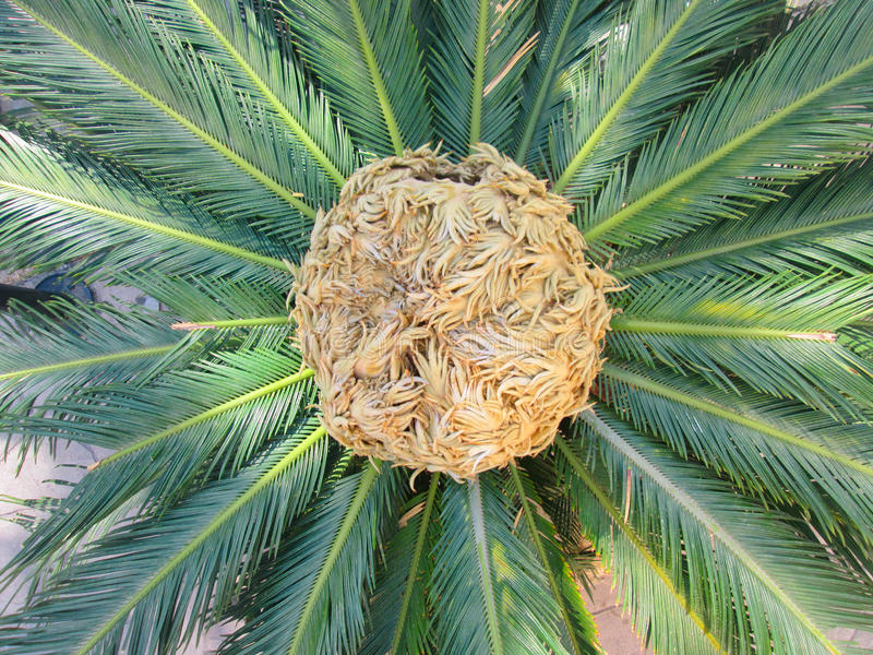 Пальма саго стоковые изображения