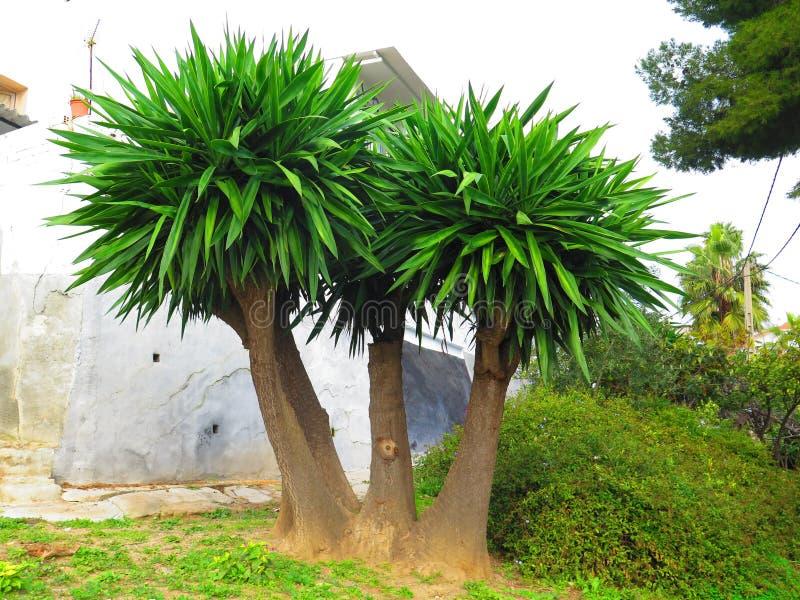 Пальмы вентилятора leaved стоковая фотография rf
