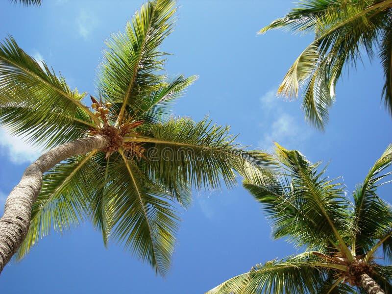Пальмы в голубом небе стоковая фотография