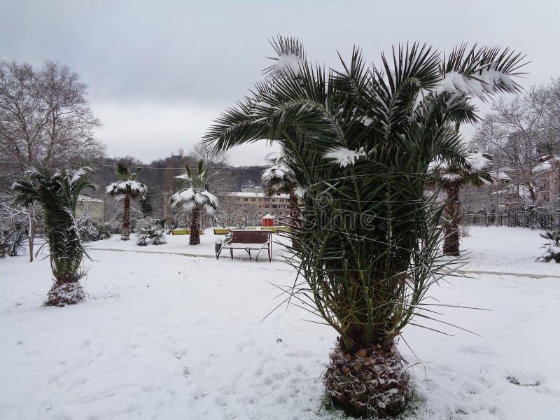 Пальмы в снеге, Сочи, России стоковое фото rf