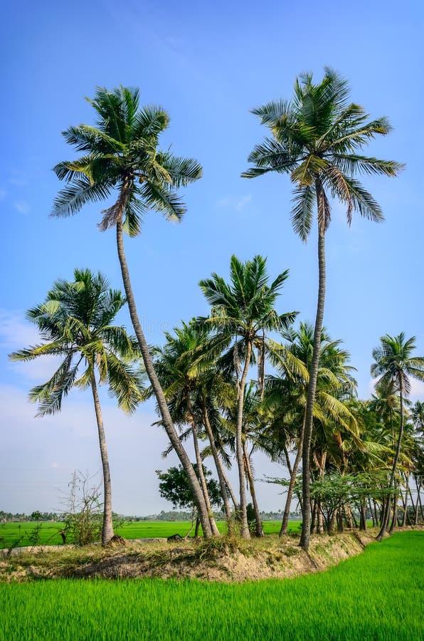 Пальмы на поле риса стоковые фото